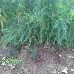 Mulchverfahren beim Grünspargel