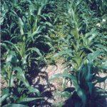 Mais mit Untersaaten