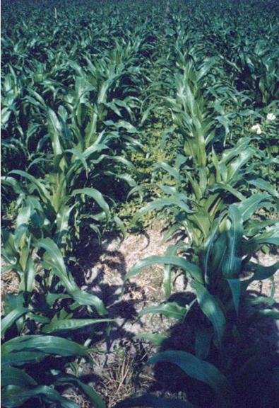 gras untersaat im mais