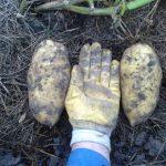 Winterkartoffeln
