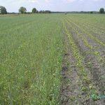 Mais als Direktsaat in einen Roggenbestand