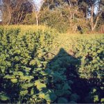 Mulchsaatmischung für Mais