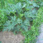 Mulchverfahren bei den Zucchini