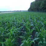 Wick-Roggengemenge als Zwischenfrucht vor Mais