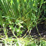 Feldsalat als Untersaat im Winterweizen